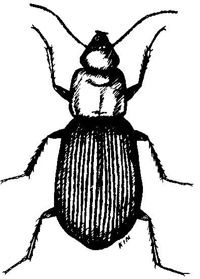 Adults are about   inch long  shiny black with the underside orange and  wing covers deeply striated  furrowed   This common species is numerous in  pastures. Ground Beetles   Ohioline
