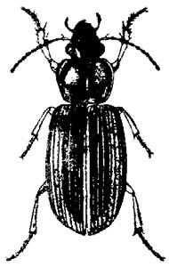 Ground Beetles | Ohioline