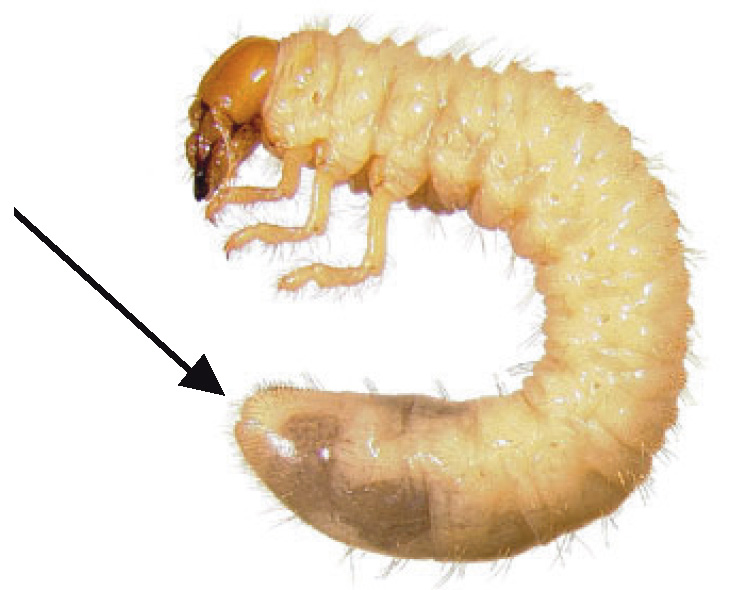 Identification of White Grubs in Turfgrass | Ohioline