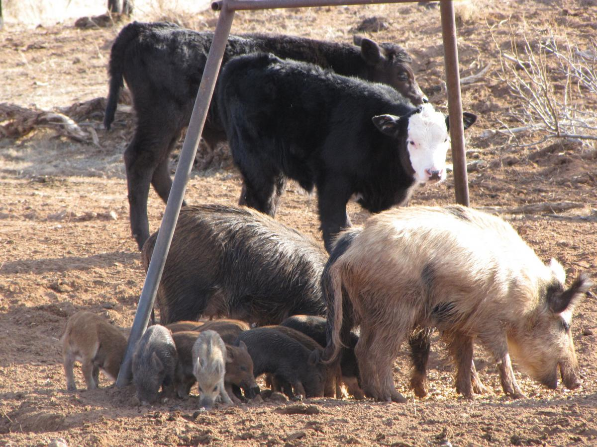 Feral Swine Are Prolific Breeders Sexually Mature Females Can Reproduce Year Round And Under Ideal Conditions Can Have 2 Litters Per Year With An Average