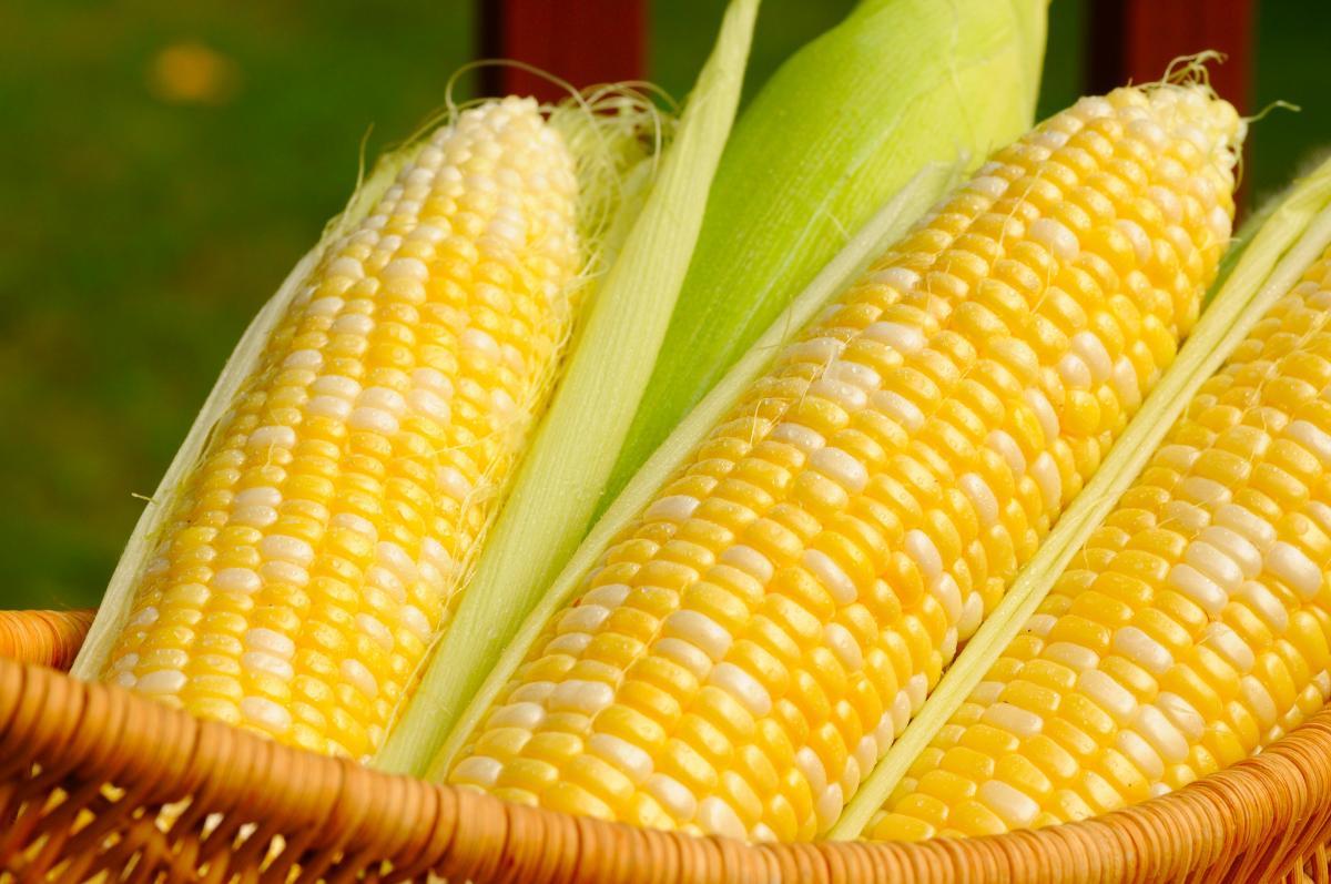 Global Genetically Modified Maize Market 2020 Key Players, SWOT Analysis,  Key Indicators and Forecast to 2025 – NeighborWebSJ