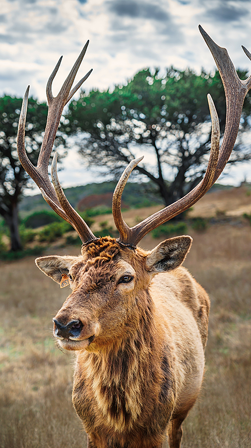 Picture of a deer with a 6-point rack out in a field