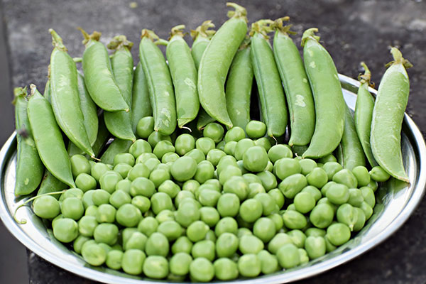 Green pea pods and shelled peas fill a silver metal plate.