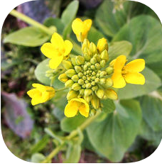 App icon for Canola Starter