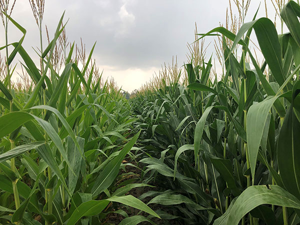 Looking down rows of corn