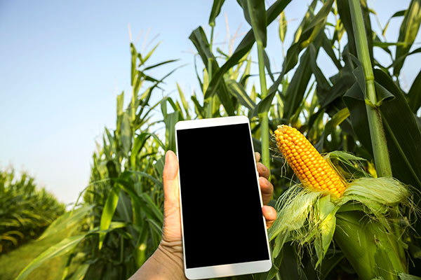 A hand holding a cell phone is shown in front of a corn field