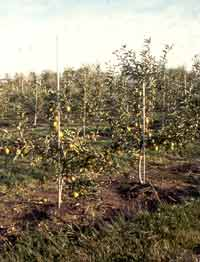 Mature apple trees for sale