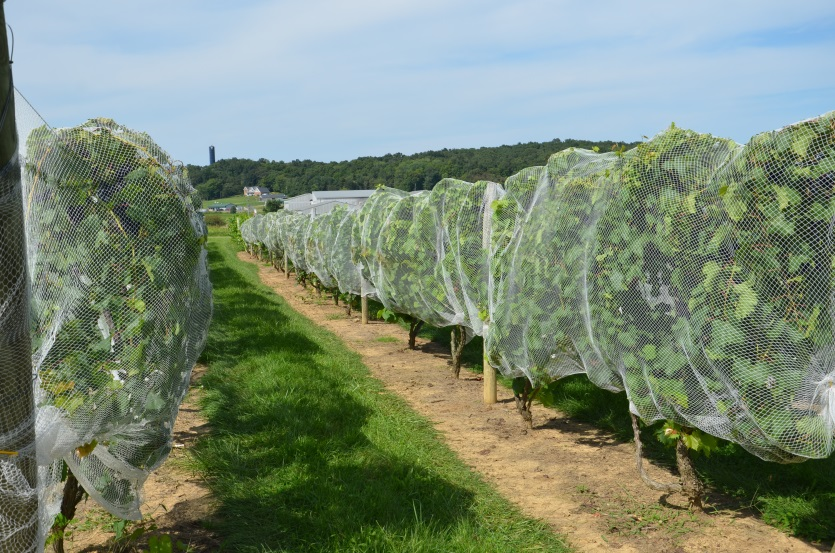 Growing Grapes in the Home Fruit Planting | Ohioline