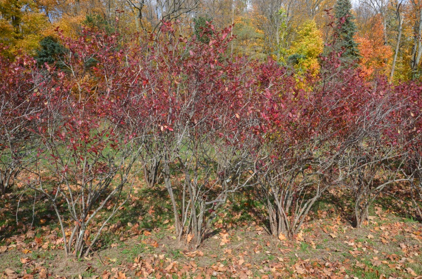 Why Is It Important To Prune Blueberry Bushes