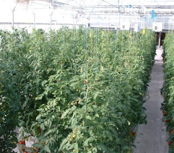 Canopy view of tomatoes in greenhouse production