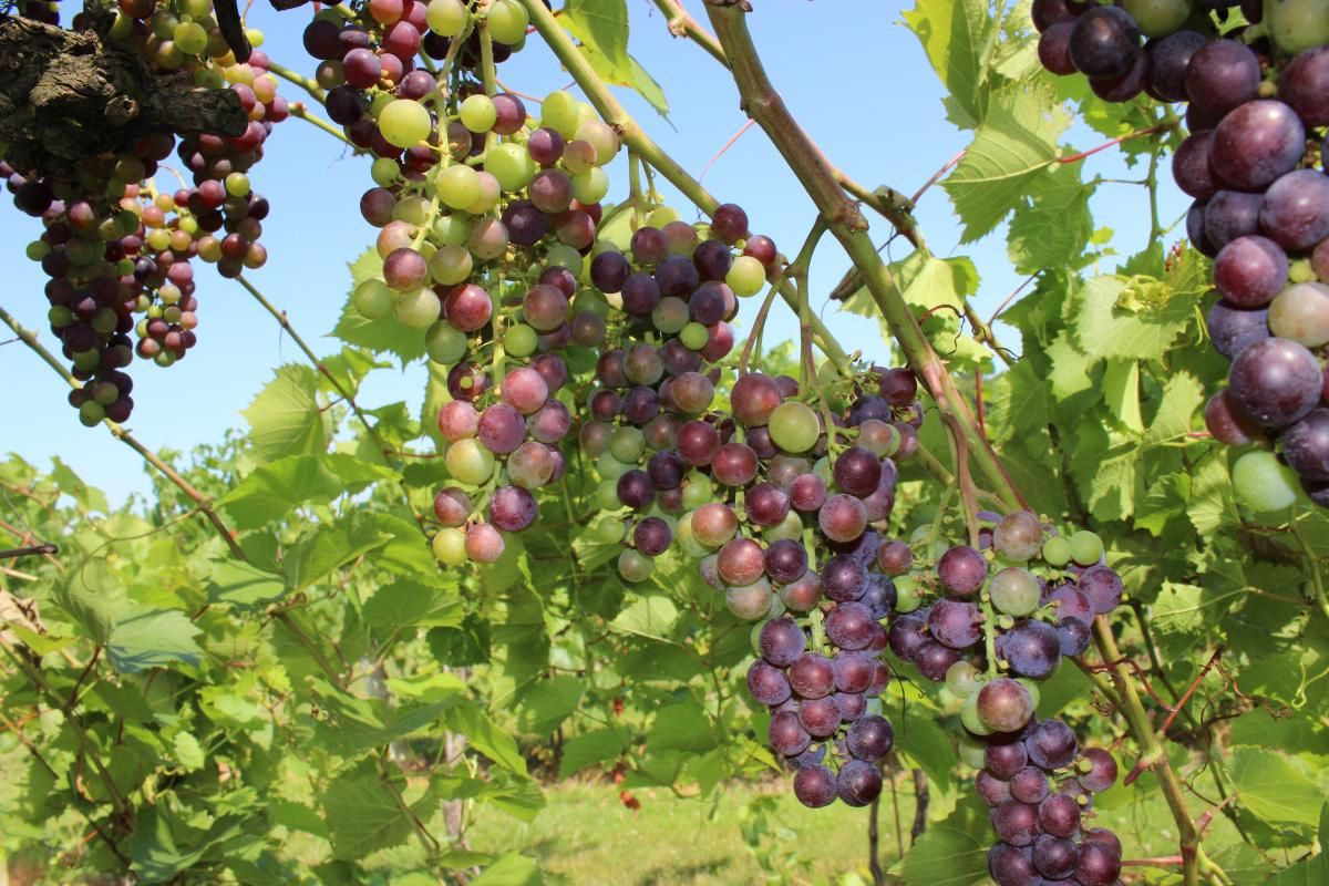 Grapes on the vine, some green, some ripe and purple red