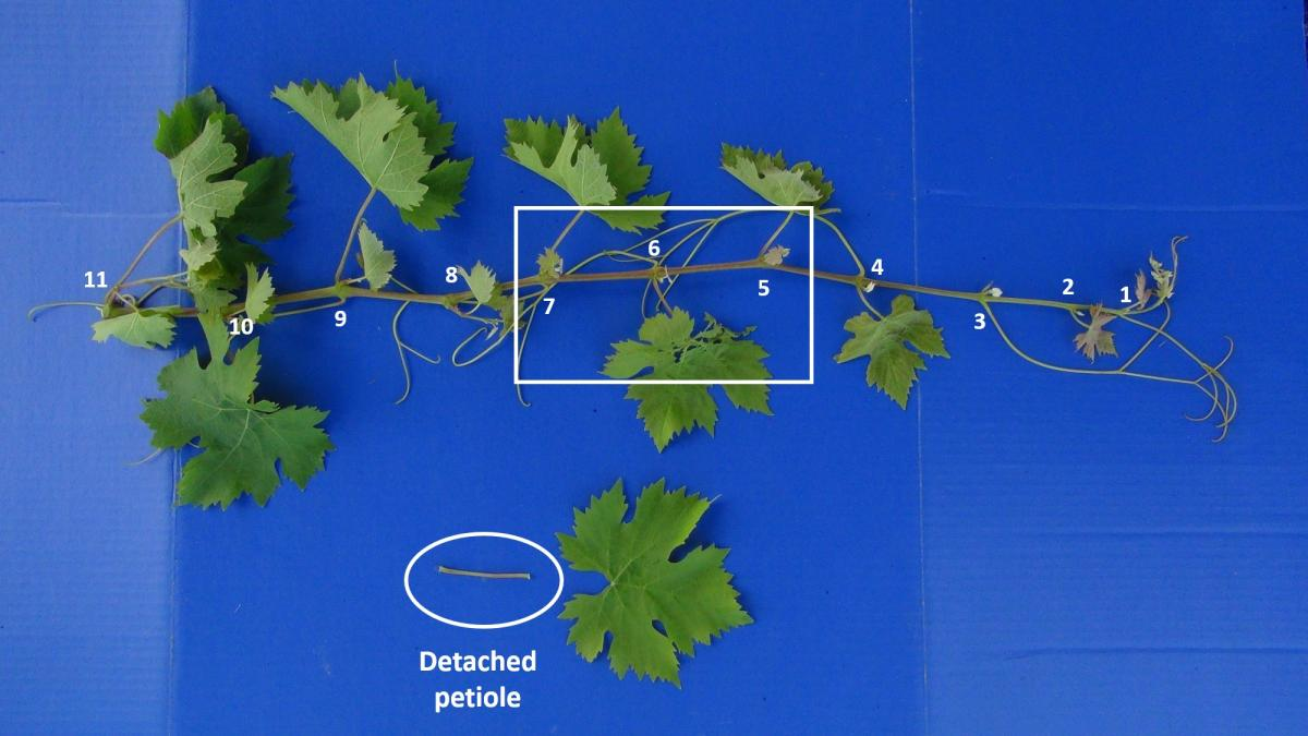 Close-up of vine with numbered leaves on the vine and detached petiole with leaf.