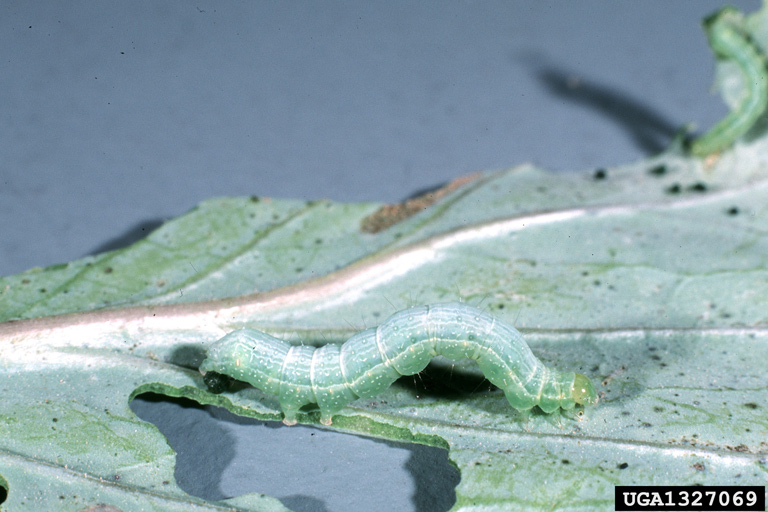 Cabbage looper and damage on cabbage leaf