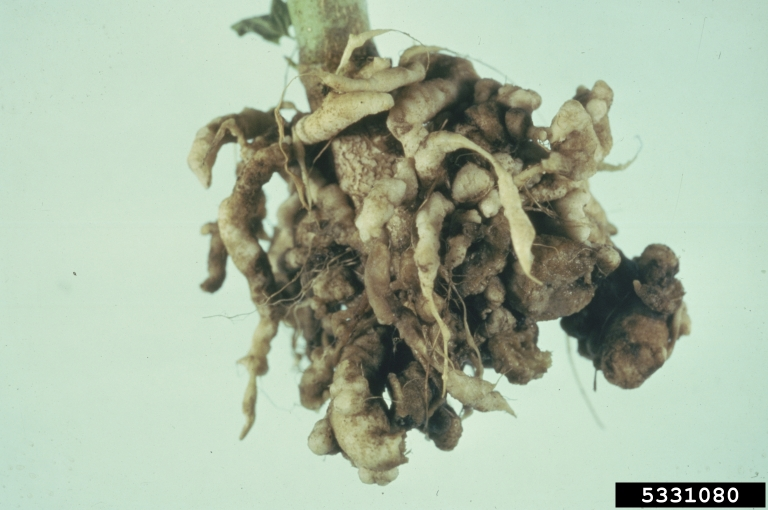 Clubroot causes roots to thicken and distort
