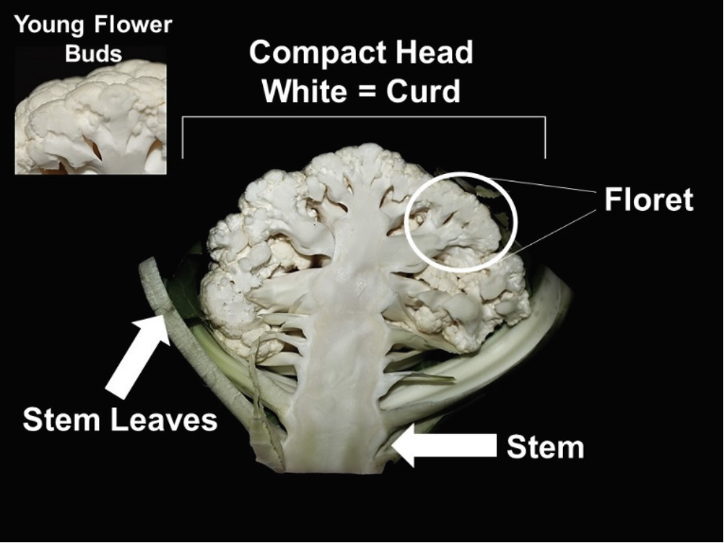 Parts of a cauliflower curd
