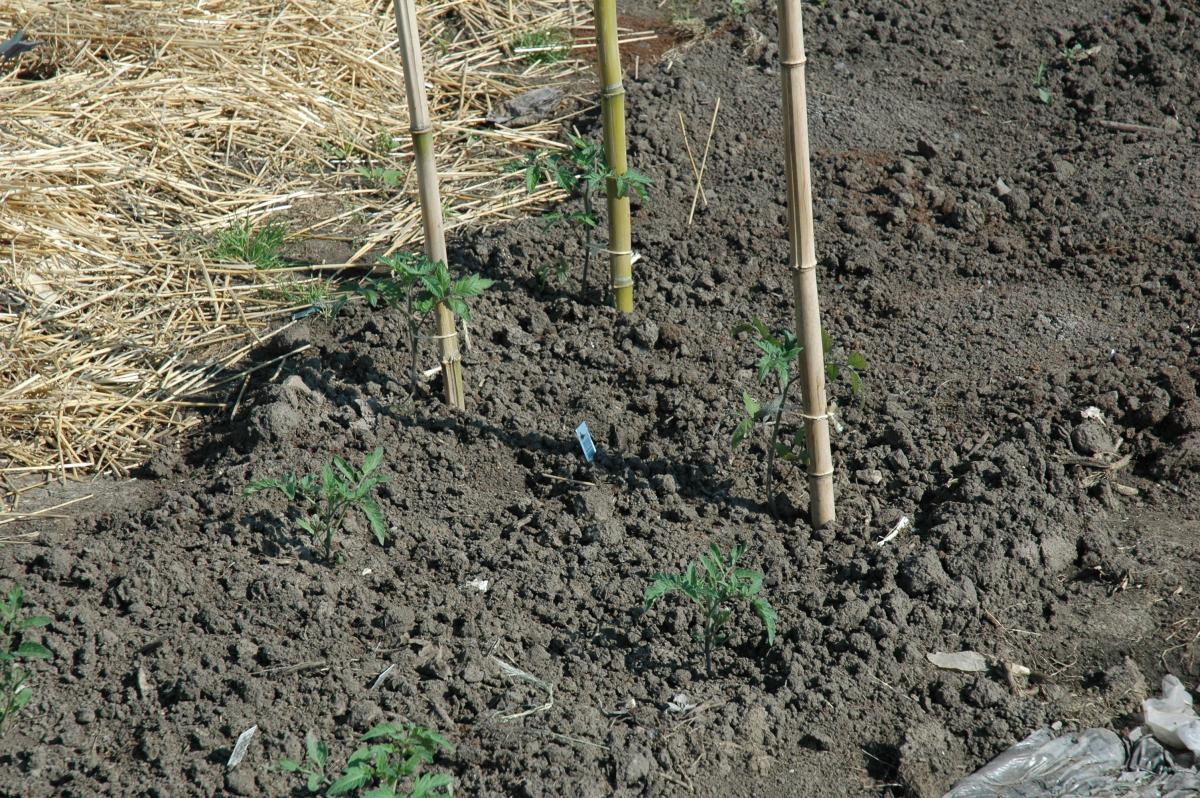 What is the best soil for tomatoes - Staking Is A Good Way To Support Tomato Plants If Gardeners Desire Fewer But Bigger Tomatoes Shown Here Are Staked Young Tomato Plants Using Bamboo Poles