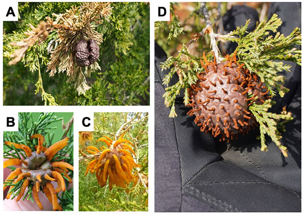 A: brown round pod with brown needles surrounding it, B: pod open with orange tentacles, C: tentacles covering pod, D: pod with very small spikes