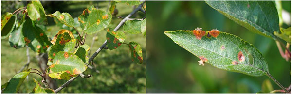 Close up of green leaves with orange spots, small white tendrils sticking out of the brown spots