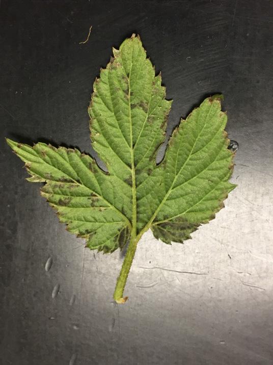 Downy mildew on underside of hop leaf