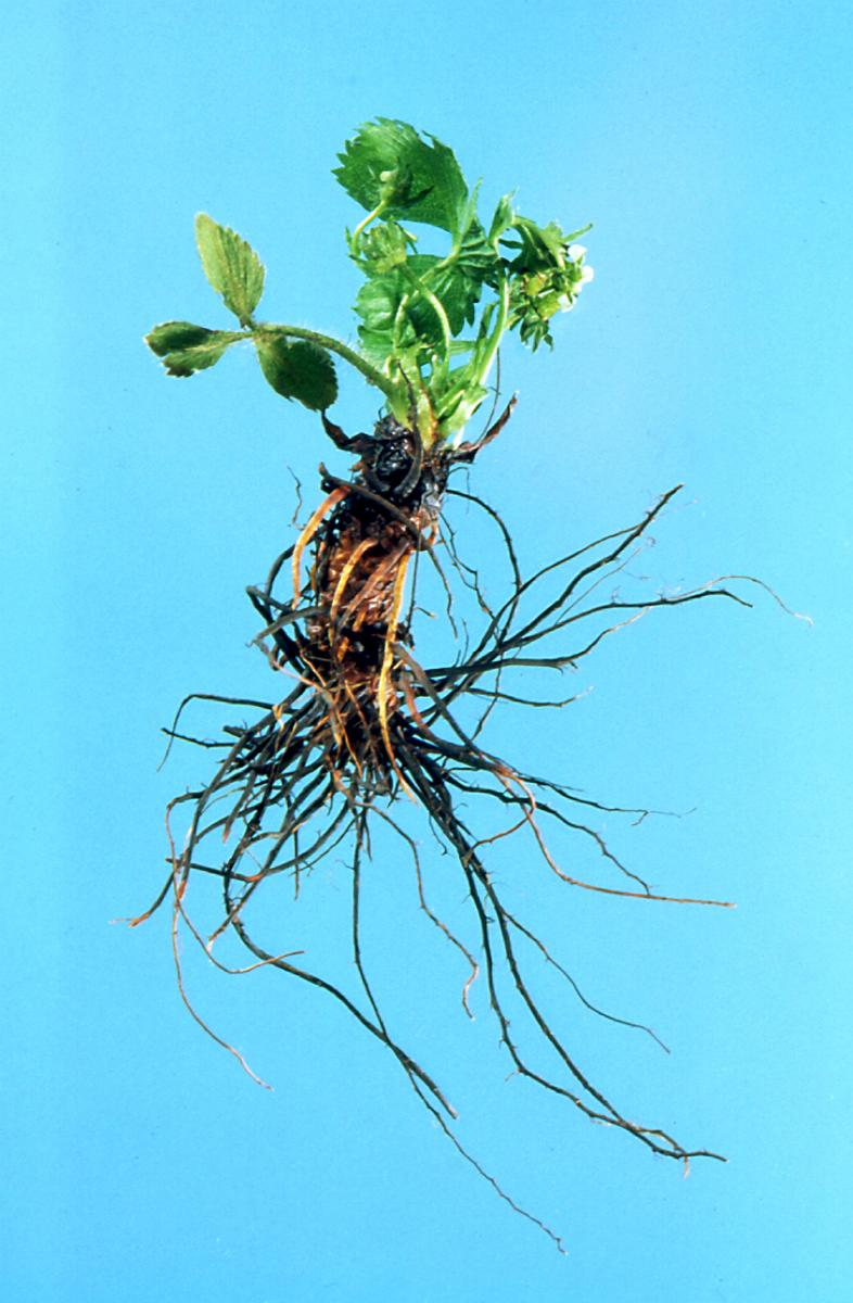 root black dating site Black root rot is caused by a complex of pathogens  choose a site with  adequate aeration and drainage rotate out of strawberries at least.