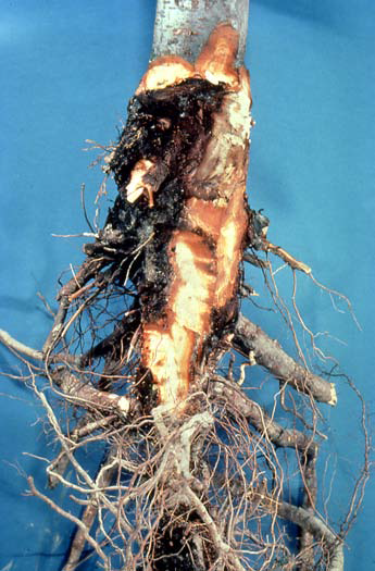 Le Root Infected With Phytophthora Rot