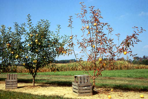The Tree On Right Has Typical Symptoms Of Phytophthora Root Rot Note Reduced Vigor And Yellow Chlorotic Leaves