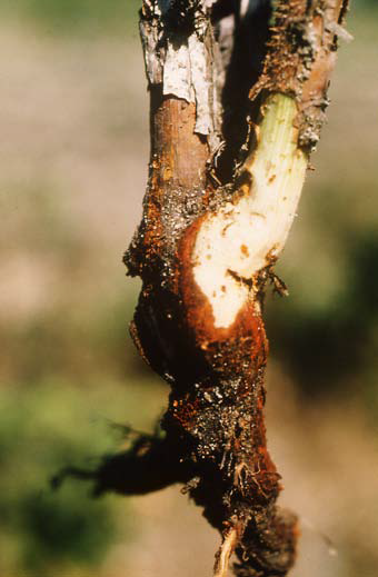 phytophthora root rot of raspberry
