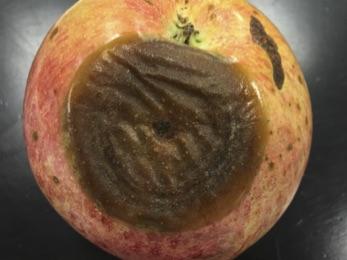 Bitter Rot Of Apple Ohioline
