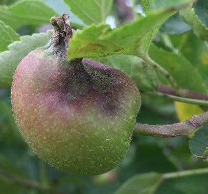 Biological control product against apple scab is just a ...