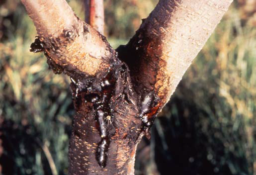 Cherry Tree Bacterial Canker Pictures