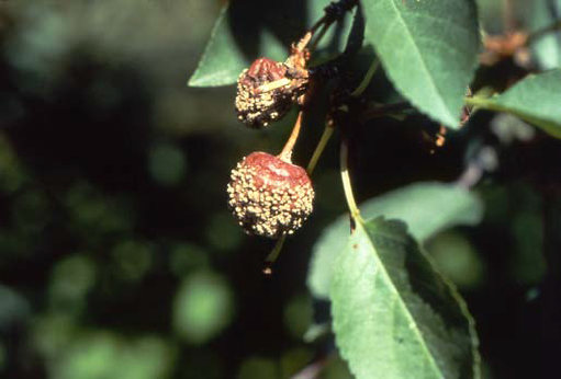 Brown Rot of Stone Fruits   Ohioline