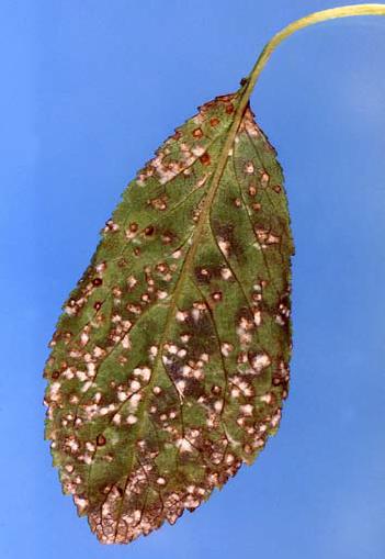 Cherry Leaf Spot