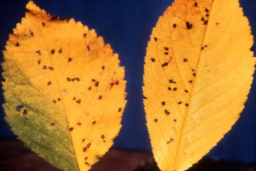 Cherry Leaf Spot Ohioline