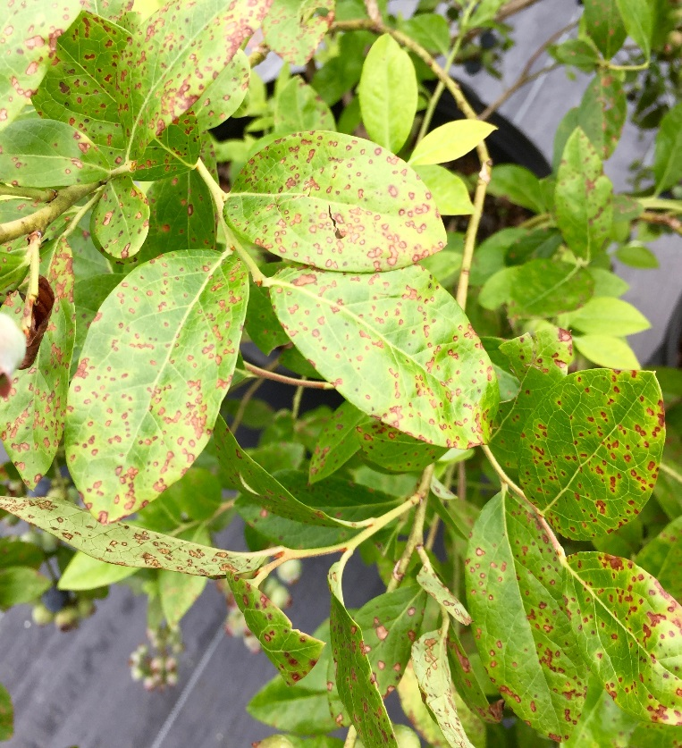 Blueberries Diseases Pictures