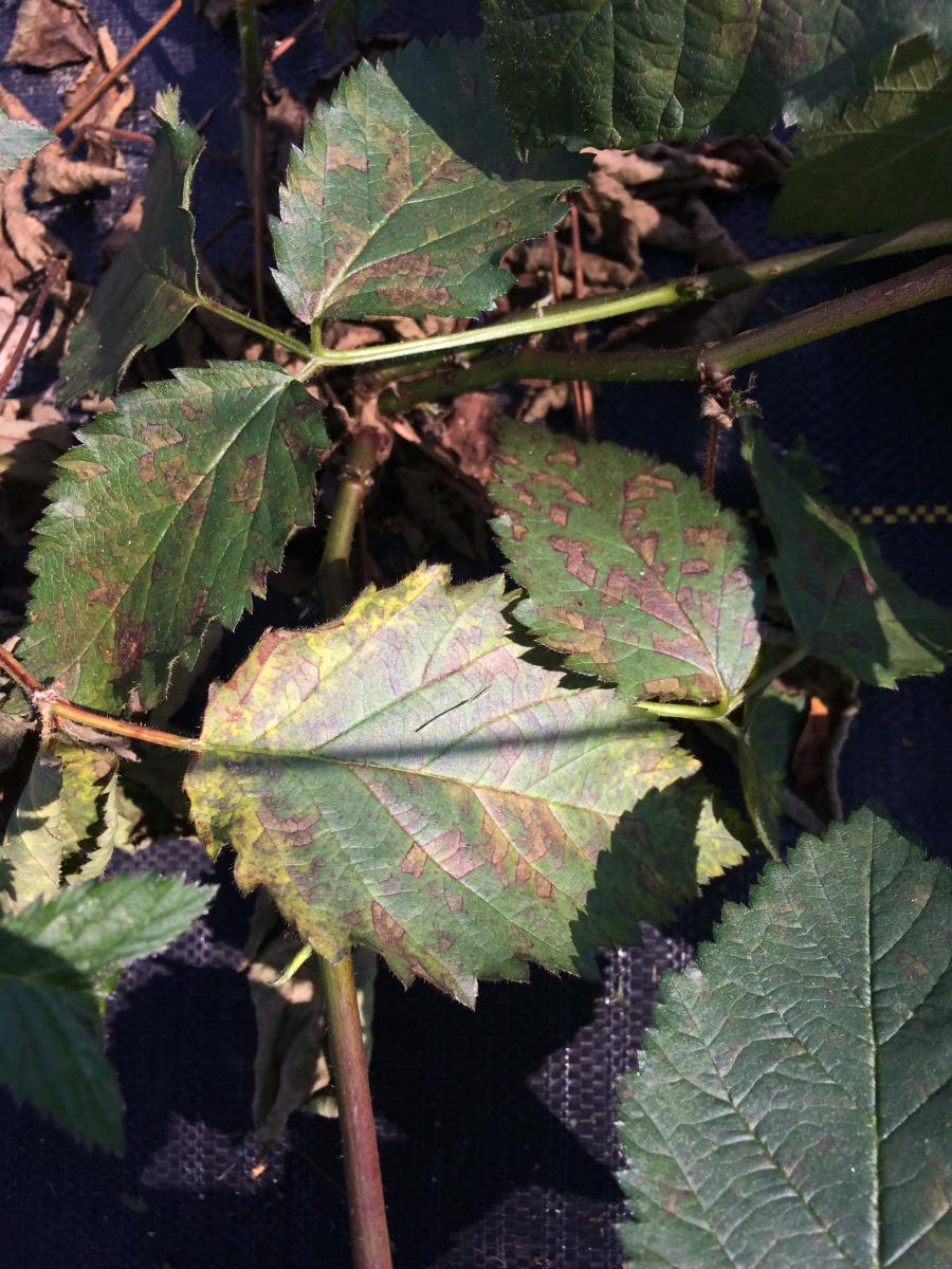 Angular reddish-brown spots on underside of leaves