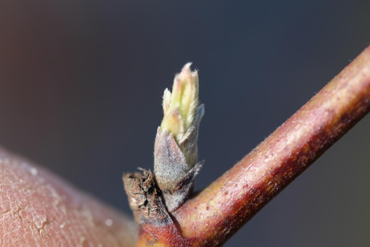 leaves protruding from bud on blackberry branch