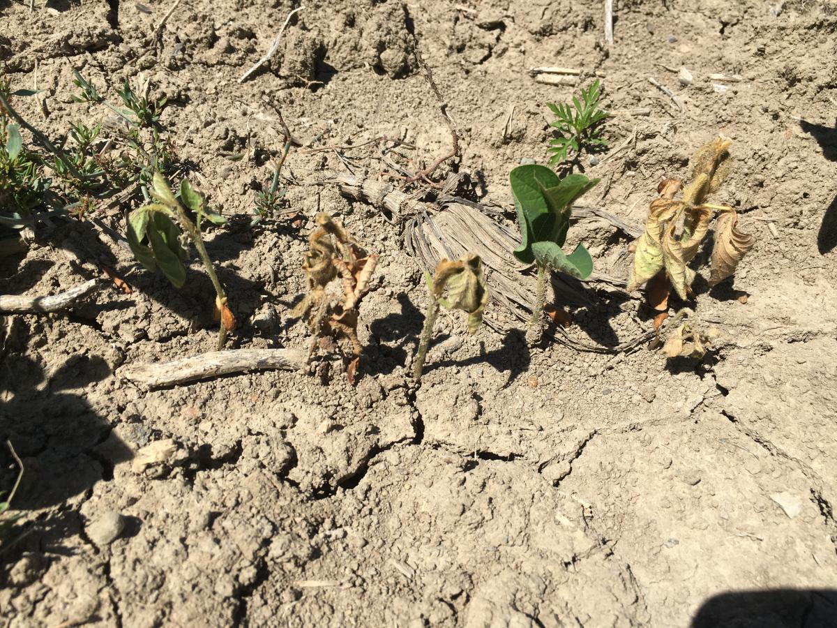 Post-emergence damping-off example in field