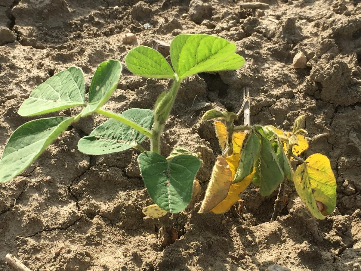 Healthy soybean next to an infected soybean plant