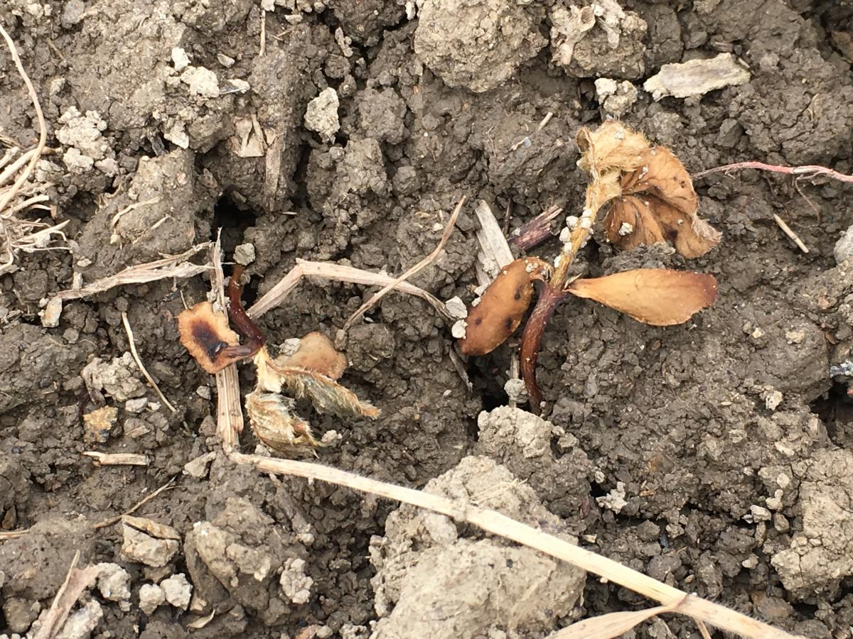 Plant infected with Phytophthora in field