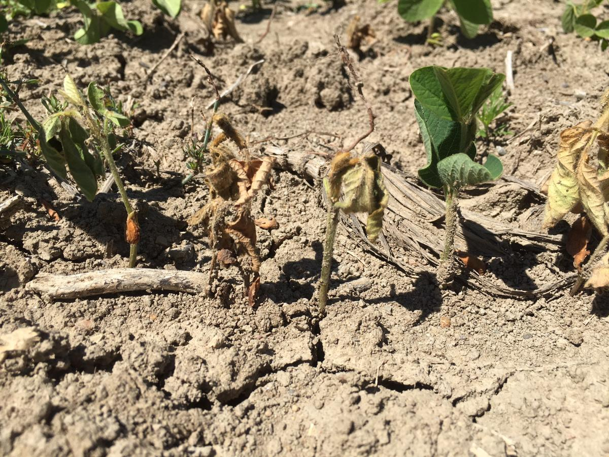 Row of soybeans, some healthy, some infected with Phytophthora