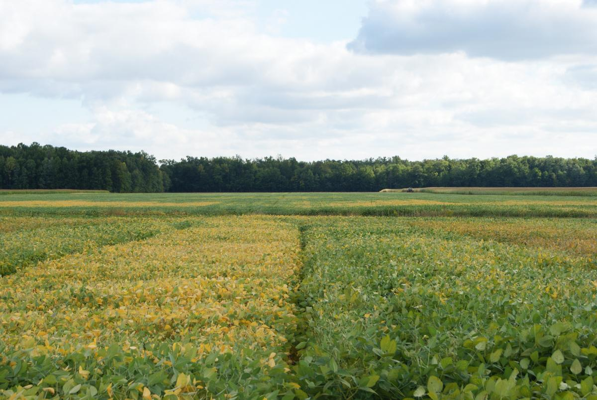 Soybean field with one section green-yellow and one section green, SCN symptoms visible