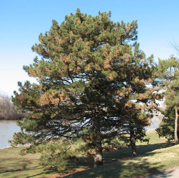 Diplodia tip blight of two needled pines ohioline for Mature pine trees