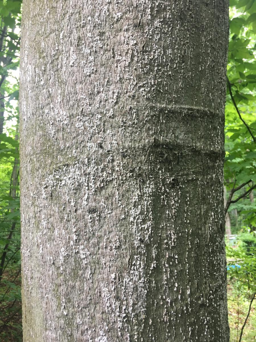 Close-up of white scale insects on beech trunk.