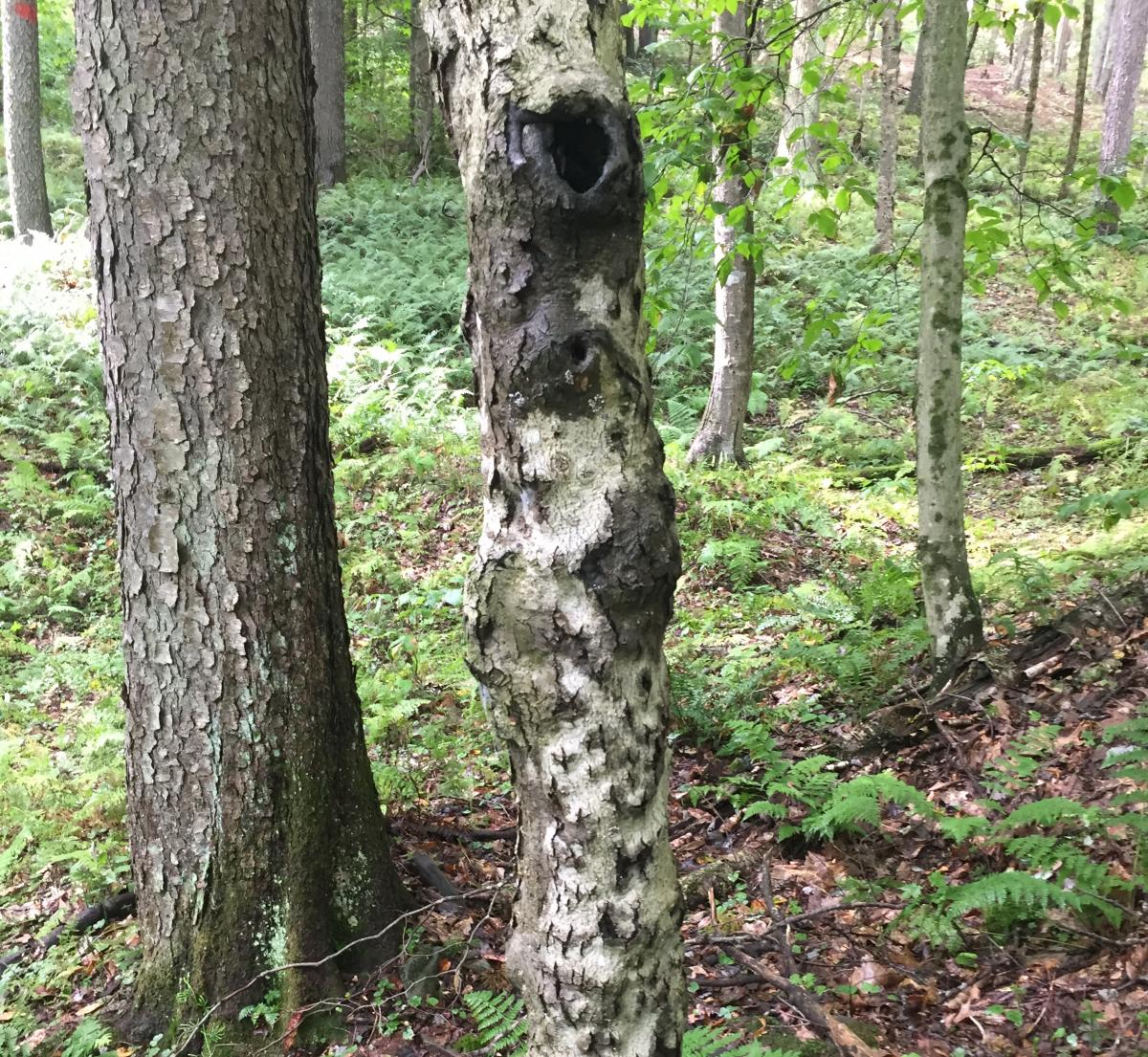 Small tree with cankers