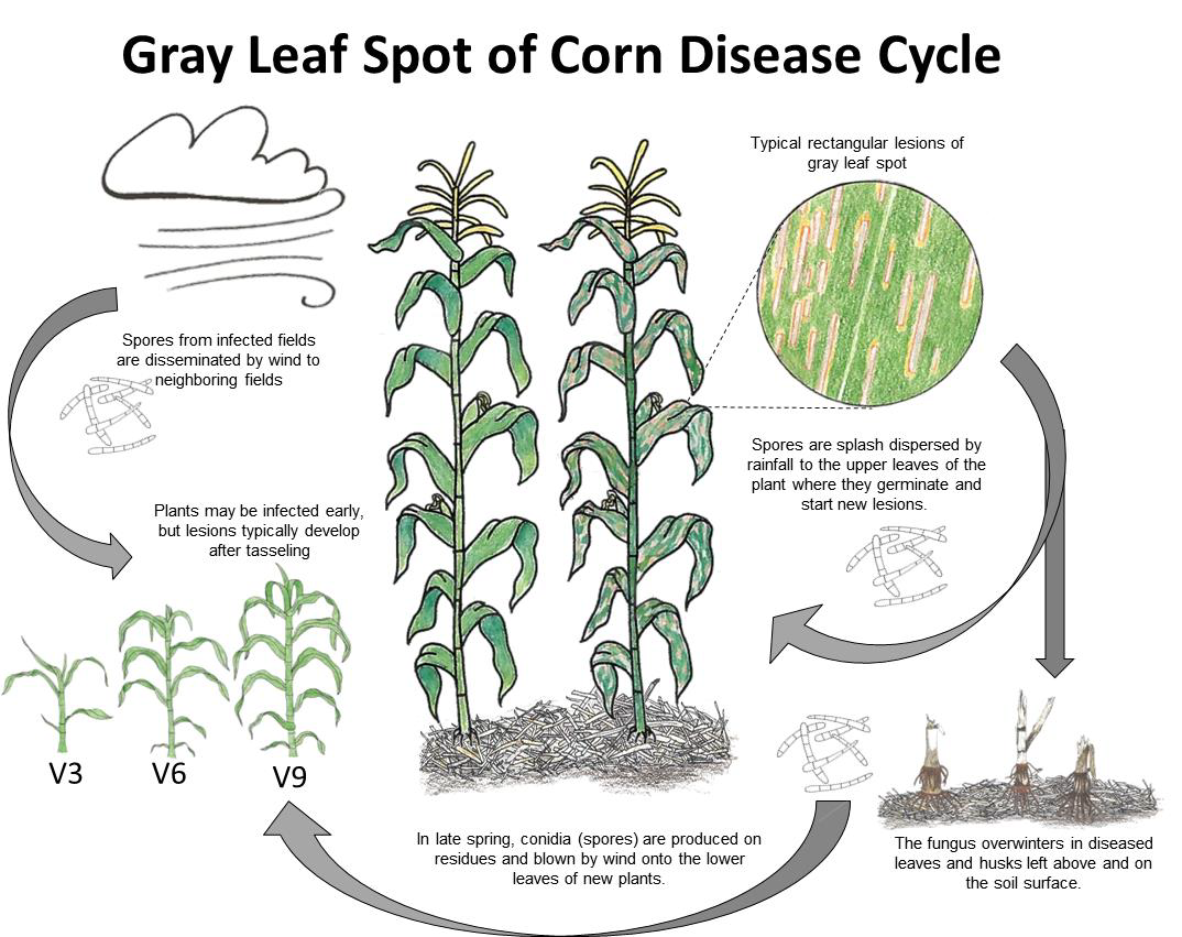 Gray leaf spot of corn ohioline although some fungicides may lead to a yield response when gls levels are low the highest and most consistent yield responses occur when there is disease thecheapjerseys Choice Image