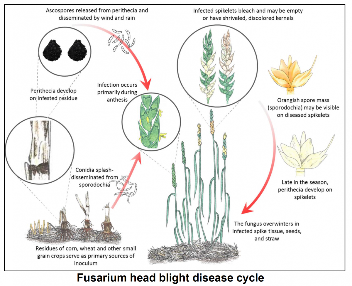 Fusarium Head Blight or Head Scab of Wheat, Barley and other Small