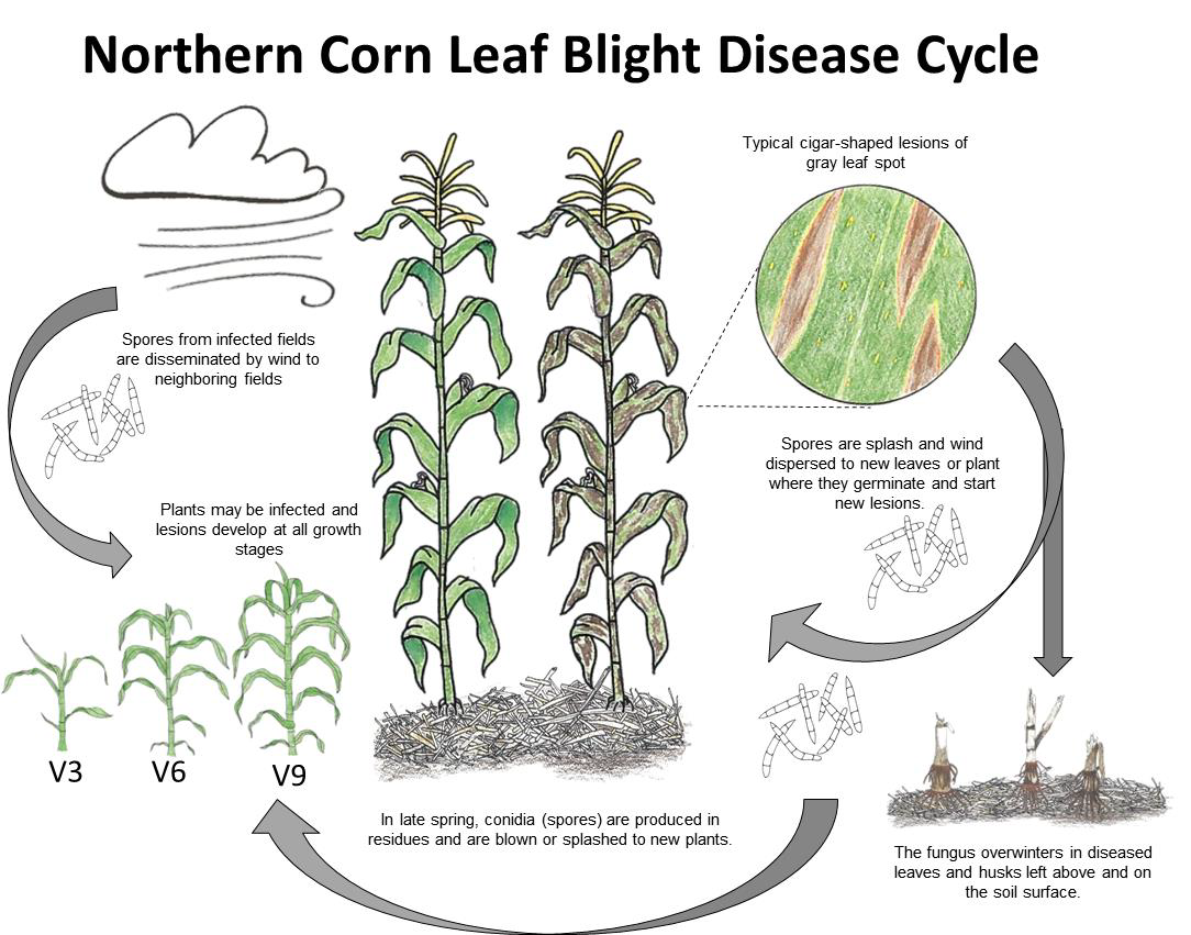 Northern Corn Leaf Blight Ohioline