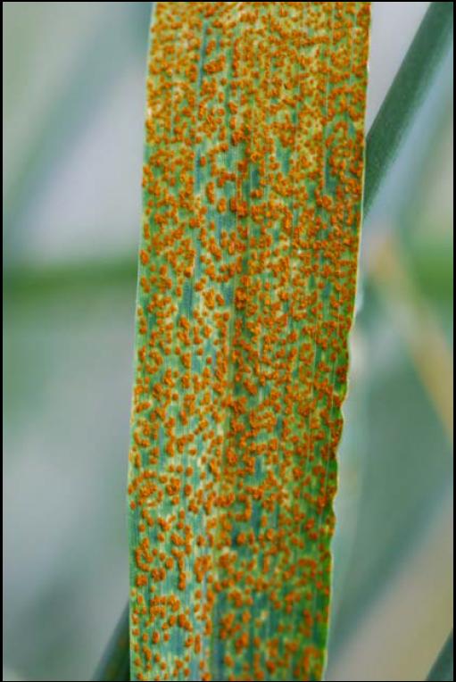 Rust Diseases of Wheat | Ohioline