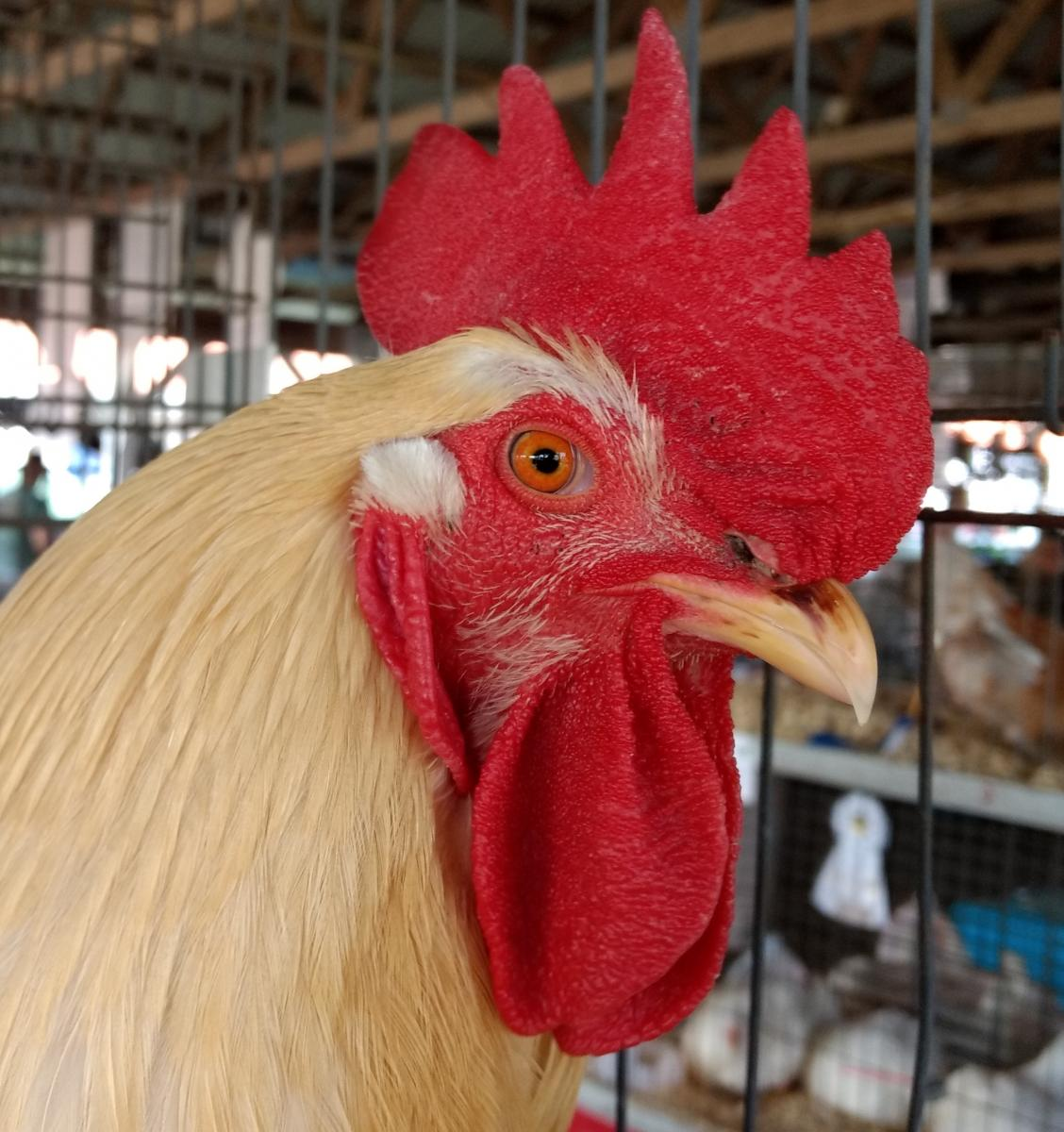 bright red comb of a healthy chicken