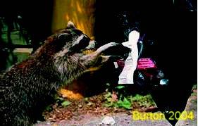 raccoon using paws